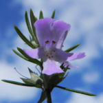 Schmalblättriger Minzstrauch Blüte lila Prostanthera linearis 11