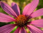 Schmalblaettriger Sonnenhut Bluete pink Echinacea angustifolia 02