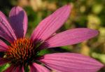 Schmalblaettriger Sonnenhut Bluete pink Echinacea angustifolia 03