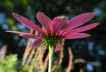 Bild:  Schmalblättriger Sonnenhut Blüte pink Echinacea angustifolia