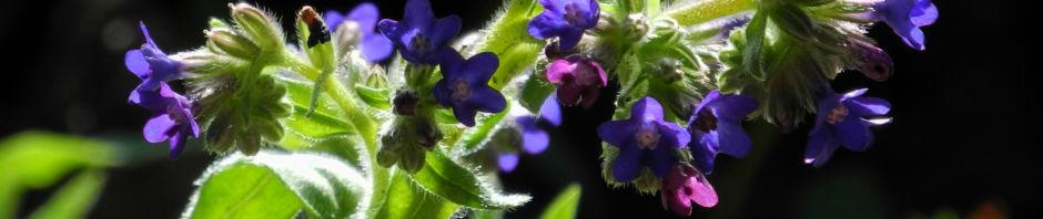 schmalblaettriges-lungenkraut-bluete-blau-pulmonaria-angustifolia