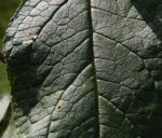 Schmetterlingsflieder Blatt gruen Buddleja davidii 24