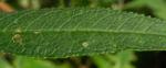 Schmetterlingsflieder Blatt gruen Buddleja davidii 25