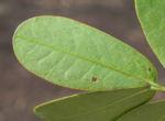 Schmetterlingskassie Winter Cassia Blatt gruen Cassia bicapsularis 08