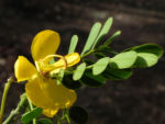 Schmetterlingskassie Winter Cassia Bluete gelb Cassia bicapsularis 05