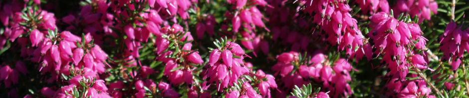 schneeheide-bluete-lila-erica-herbacea