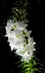 Schnee Kranz Bluete weiß Woollsia pungens 08