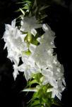 Schnee Kranz Bluete weiß Woollsia pungens 11