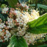 Schneeball lederblaettrig Viburnum rhytidophyllum 02