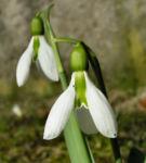 Schneegloeckchen Bluete weiss Galanthus nivalis 01