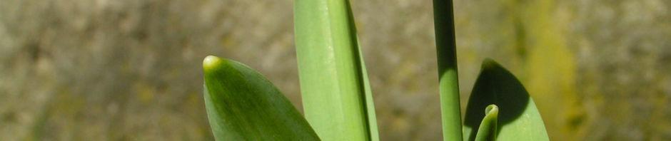 kleines-schneegloeckchen-bluete-weiss-galanthus-nivalis