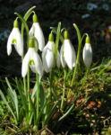 Schneegloeckchen Bluete weiss Galanthus nivalis 06
