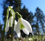 Schneegloeckchen Bluete weiss Galanthus nivalis 400