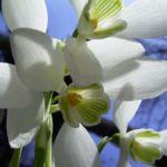 Schneegloeckchen Blueten Galanthus nivalis 01