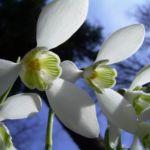Schneegloeckchen Blueten Galanthus nivalis 03