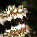 Schneeheide Winterheide Heidekraut Bluete weiss Erica carnea 06