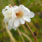 Schneekirsche Bluete weiss Prunus subhirtella 04