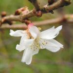 Schneekirsche Bluete weiss Prunus subhirtella 06
