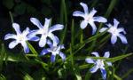Schneestolz Bluete hellblau Chionodoxa gigantea 05