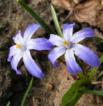 Schneestolz Chionodoxa luciliae 01