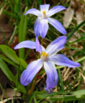 Schneestolz Chionodoxa luciliae 03