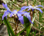 Schneestolz Chionodoxa luciliae 05