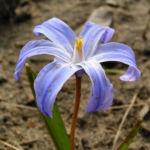 Schneestolz Chionodoxa luciliae 06