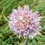 Schnittlauch Bluete pink Allium schoenoprasum 02
