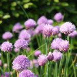 Schnittlauch Bluete purpur Allium schoenoprasum 02