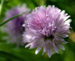 Schnittlauch Bluete purpur Allium schoenoprasum 04