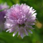 Schnittlauch Bluete purpur Allium schoenoprasum 05
