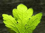 Schoellkraut Blatt gruen Chelidonium majus 15