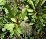 Schoene Goetterblume Blatt gruen Dodecatheon pulchellum 02