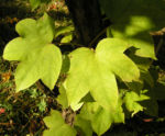 Schoener Panax Baum Blatt gruen Kalopanax pictus 05