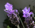 Schopf Lavendel Bluete lila Lavandula stoechas01