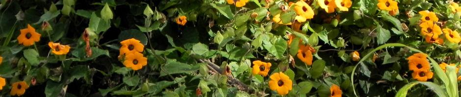 schwarzaeugige-susanne-bluete-gelb-schwarz-thunbergia-alata