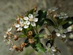 Schwarze Apfelbeere Bluete weiß Aronia melanocarpa 03