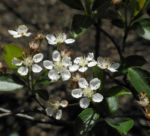 Schwarze Apfelbeere Bluete weiß Aronia melanocarpa 06