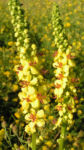 Schwarze Koenigskerze Bluetenstand gelb roetlich Verbascum nigrum 04