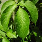 Schwarzer Hollunder Strauch Blatt braun Sambucus nigra 03