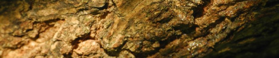 schwarzer-holunder-strauch-bluete-weiss-sambucus-nigra