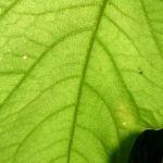 Schwarzer Holunder Blatt Frucht Sambucus nigra 02