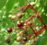 Schwarzer Holunder Blatt Frucht Sambucus nigra 04