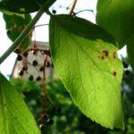 Schwarzer Holunder Blatt Frucht Sambucus nigra 06