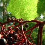 Schwarzer Holunder Blatt Frucht Sambucus nigra 07
