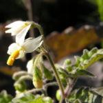 Schwarzer Nachtschatten Bluete weiss Solanum nigrum 03