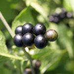 Schwarzer Nachtschatten Bluete weiss Solanum nigrum 07