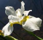 Schwertlilie Iris Bluete weiss Iris rhizomiris 04