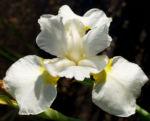 Schwertlilie Iris Bluete weiss Iris rhizomiris 06