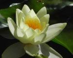 Seerose Bluete gelb Nymphaea Pygmaea Helvola 02